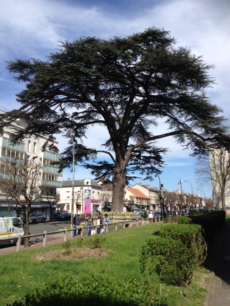 Le Cèdre du Liban Livry Gargan 266 ans Arbre classé remarquable et symbole de la ville